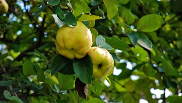 Yellow quince fruit, rarely seen nowadays