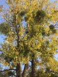 A susogó nyárfák